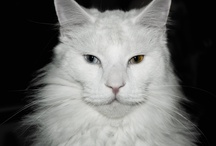 Dean  great Maine Coon