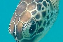 MY TURTLE FRIEND / Some photos of a beautiful turtle I swam with in the Whitsunday Islands.
