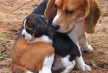 Cães beagle