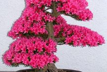 bonsai Azaléia