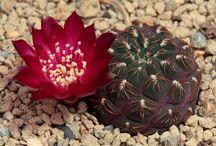 cactus & c. tesori segreti