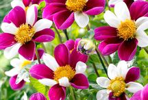 Gardens -- Dahlias / Dahlias I have or want