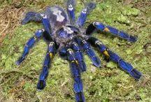 Gooty Ornamental Tarantula