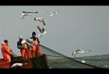 Рыболовный промысел селедки. | Большой улов у самого берега.