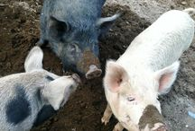 Sweet Happy Pigs / Interview with Sweet Happy Farms Owner Shawn Sweet http://kitchenwisdomglutenfree.com/2015/08/16/sweet-happy-pigs-cow-on-a-cliff-vermont-food-chroniclesc-2015/