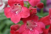 PENSTEMON / Varieties and Colours