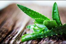 Health Benefits of Aloe Vera Plant