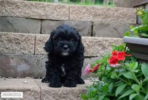 Lhasa Poodles / http://www.buckeyepuppies.com/puppies-for-sale-bep/lhasa-poo