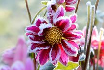 Frost / Icy Fowers