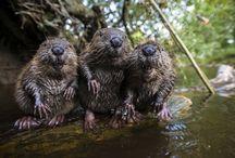 beavers n more