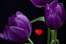 tulipano belly