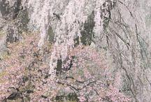 Sakura Cherryblossoms