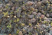 Vineyards at Europa Village