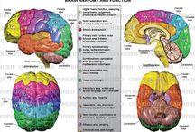 Hjernens anatomi og funksjon