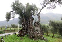 Old tree - Yaşlı ağaçlar