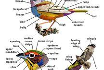 Birding | Identification