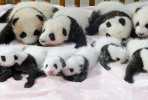 Pandíci