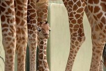 """A Head Above the Rest / ESA's animal mascot is the giraffe, because ESA is """"A Head Above the Rest"""""""