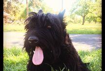Chevy Chase (my scottish terrier)