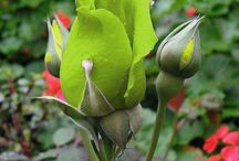 Rose Buds / flower