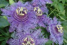 Télálló golgotavirág - Hardy passiflora