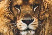 картинки лев львы львицы львята