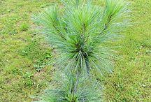Pinus x schwerinii - Sosna Schwerina