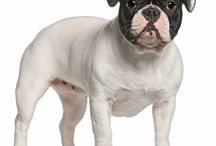 """French Bulldog / The French Bulldog originated in 19th Century Nottingham, England, where Lace makers decided to make a smaller, miniature, lap version of the English Bulldog, that were referred to as """"toy"""" bulldogs. In the 1860's when the Industrial Revolution drove the craftsmen to France they took their dogs with them. See more at: http://www.noahsdogs.com/m/dogs/breed/French-Bulldog#sthash.fjKDee2c.dpuf www.NoahsDogs.com"""