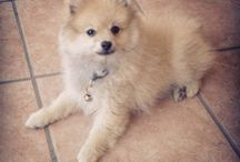 pomeranian / My pomeranian dog Toby. He loves.run like crazy and give love to people  / by Caren Duaarte