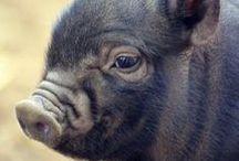 cuando los cerdos vuelen