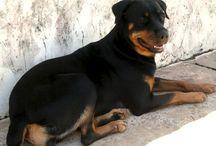 Rottweiler / MINHA DHARA