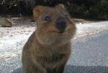 quokka / The happiest animal in the world