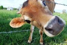 Cows & bulls ❤️