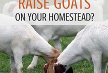 Chèvres -produit/viande