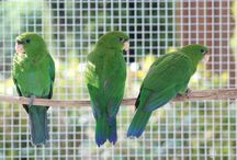 Triclaria / Il genere di pappagalli triclaria è monospecifico, e l'unica specie che lo rappresenta è il triclaria malachitacea, il cui piumaggio ha una tonalità che ricorda il noto minerale color verde azzurro. Questo genere di pappagalli è originario delle foreste montane del sud-est del Brasile, caratterizzato da una lunga coda quadrata.