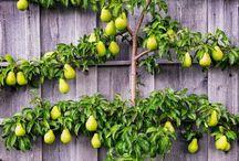 Espalier fruit treesEspalier fruit trees