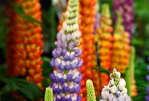 fiori perenne