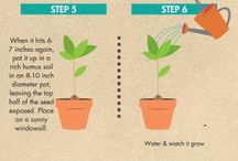 Avocado plant care