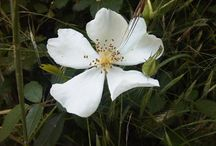 Flower Remedies o Esencias Florales / www.alifcosmetic.com