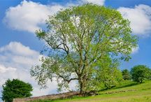 Ash / Ash trees The tree's common English name, ash, goes back to the Old English æsc, while the generic name originated in Latin.