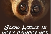 Slow Loris is Concerned / by Jeff Ling
