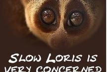 Slow Loris is Concerned