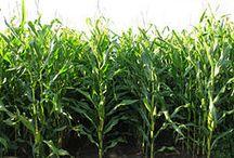 Corn allergy / by Mary Hejka