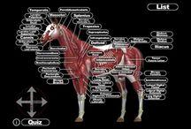 Häst massage