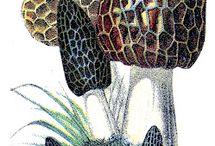 Morel Mushrooms Graphic