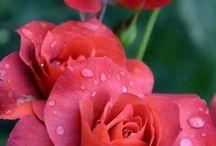 Rózsák~♡~