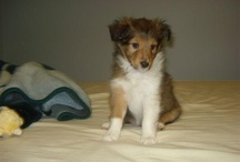 Shelties and Golden Retrievers (oh, don't forget ferrets!)