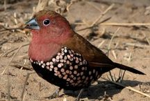 Birding - Local Birds in the Mkuze area
