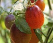 købe tomat frø