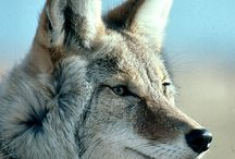 Coyote / Krachtdier
